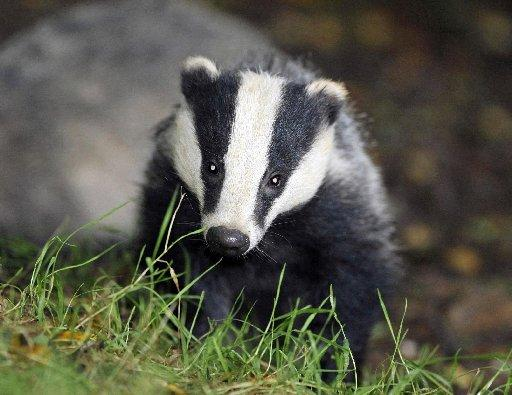Cheshire Wildlife Trusts opts against badger cull