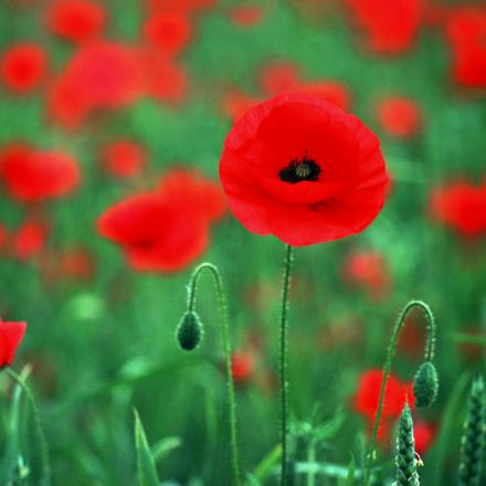 Town council to hand out poppy seeds to mark war anniversary