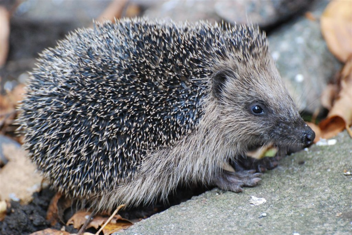 Nantwich residents asked to help prevent hedgehog plight