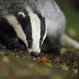 The Badger Trust sought a court