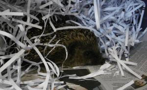 Crewe Guardian: RSPCA called to hedgehog attack. Click here to read more