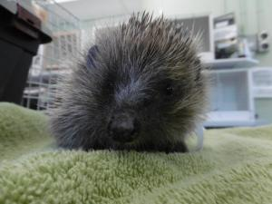 Crewe Guardian: RSPCA in Nantwich treat hedgehog suffering from 'balloon syndrome'. Click here to read more