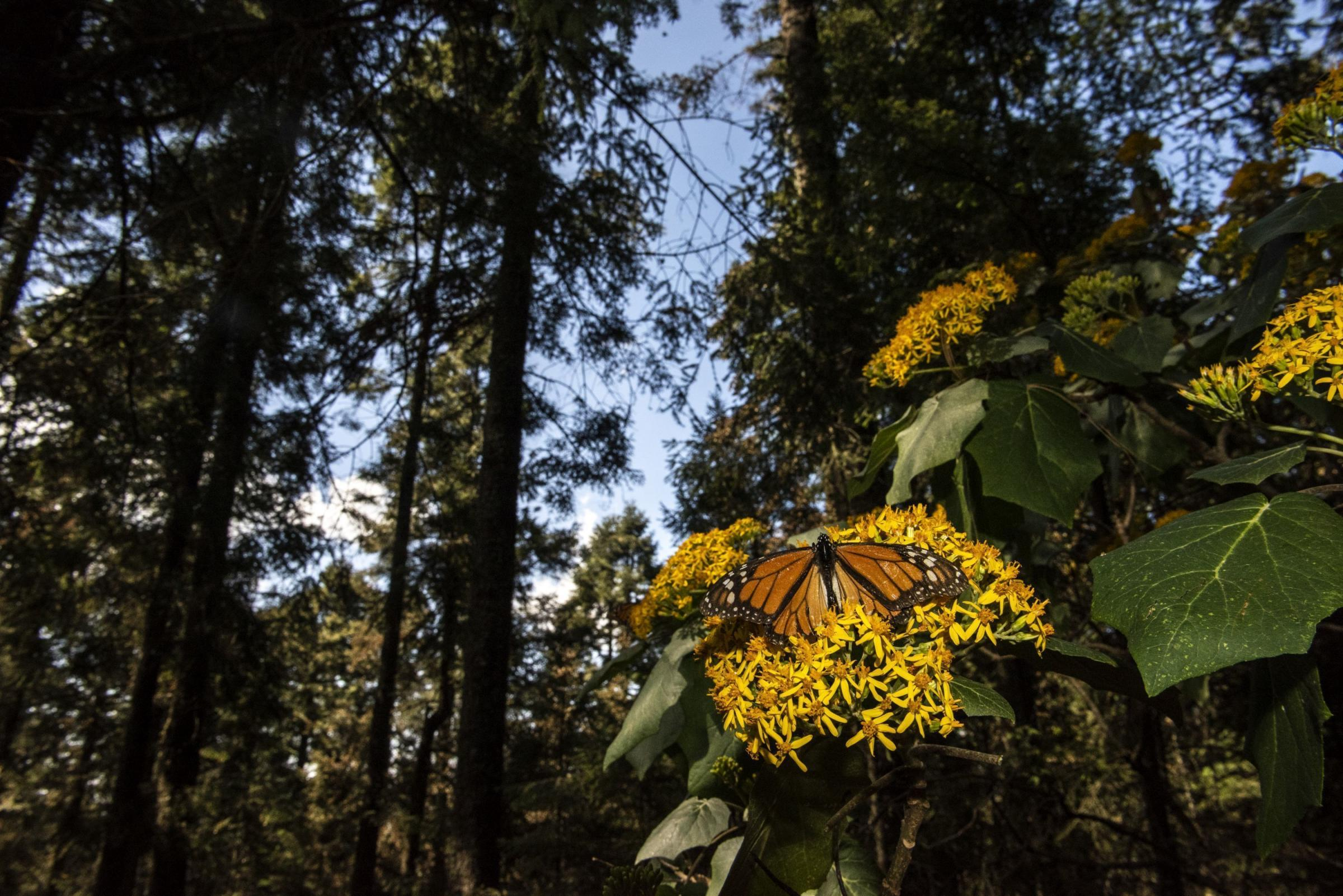 A monarch butterfly at the El Rosario butterfly preserve